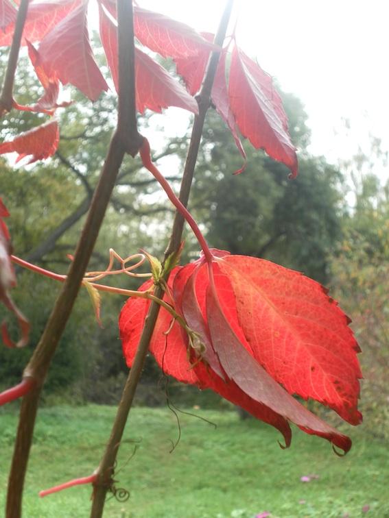 Виноград осенью, Стешкино фото